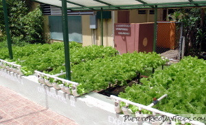Hydroponics at Casa Pueblo in Adjuntas