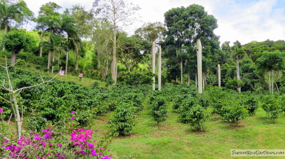 Hacienda Muñoz Coffee Plantation