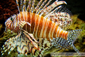 Red Lionfish Invasion In Atlantic And Caribbean Devil