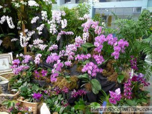 Puerto Rico Orchid Shows