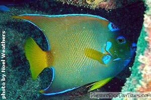 Queen angel fish