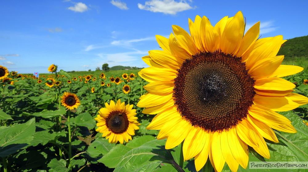 Sunflower Farms Fincas Girasoles Puerto Rico Day Trips