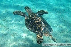 Puerto Rico Sea Turtle