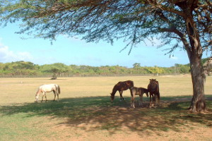 Horses at Sun Bay on Vieques
