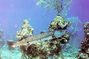 Barracuda in Vieques