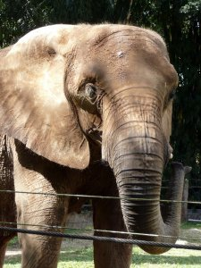 Elephant at the Mayaguez Zoo