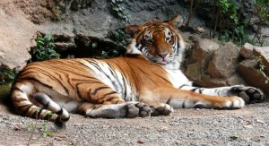 Tiger at the Mayaguez Zoo